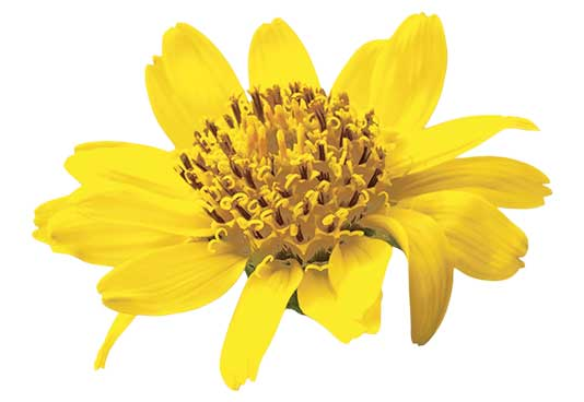 Arnica helps soothe and nourish the skin, contributing to overall skin health