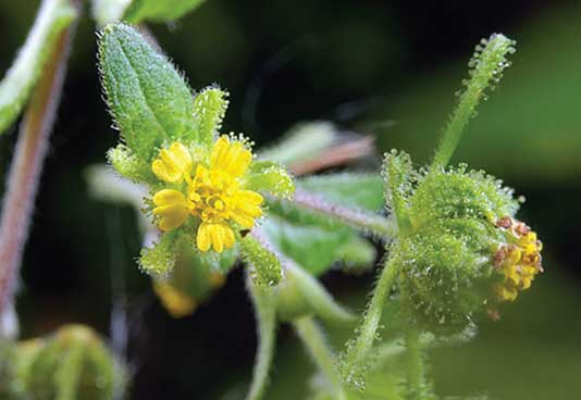 Asteraceae Siegesbeckia Orientalis contains Durutoside, which helps stimulate collagen and elastin renewal