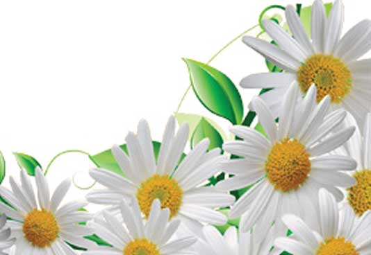 Daisy Extract is a powerful skin lightener that inhibits tyrosinase activity