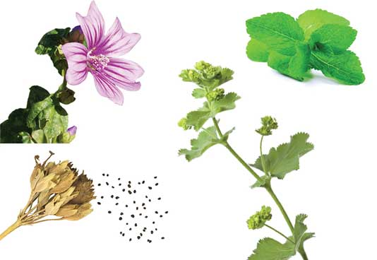 Mallow Extract, Cowslip Extract, Peppermint Leaf Extract, Alchemilla Extract