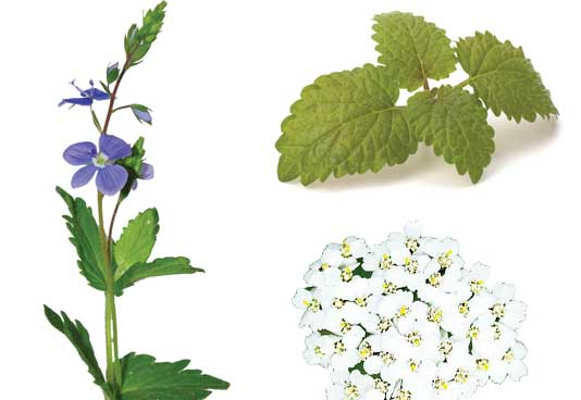 Speedwell Extract, Lemon Balm Extract, Yarrow Extract