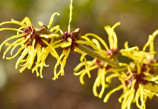 Witch Hazel is a fine astringent, helping to tighten skin pores